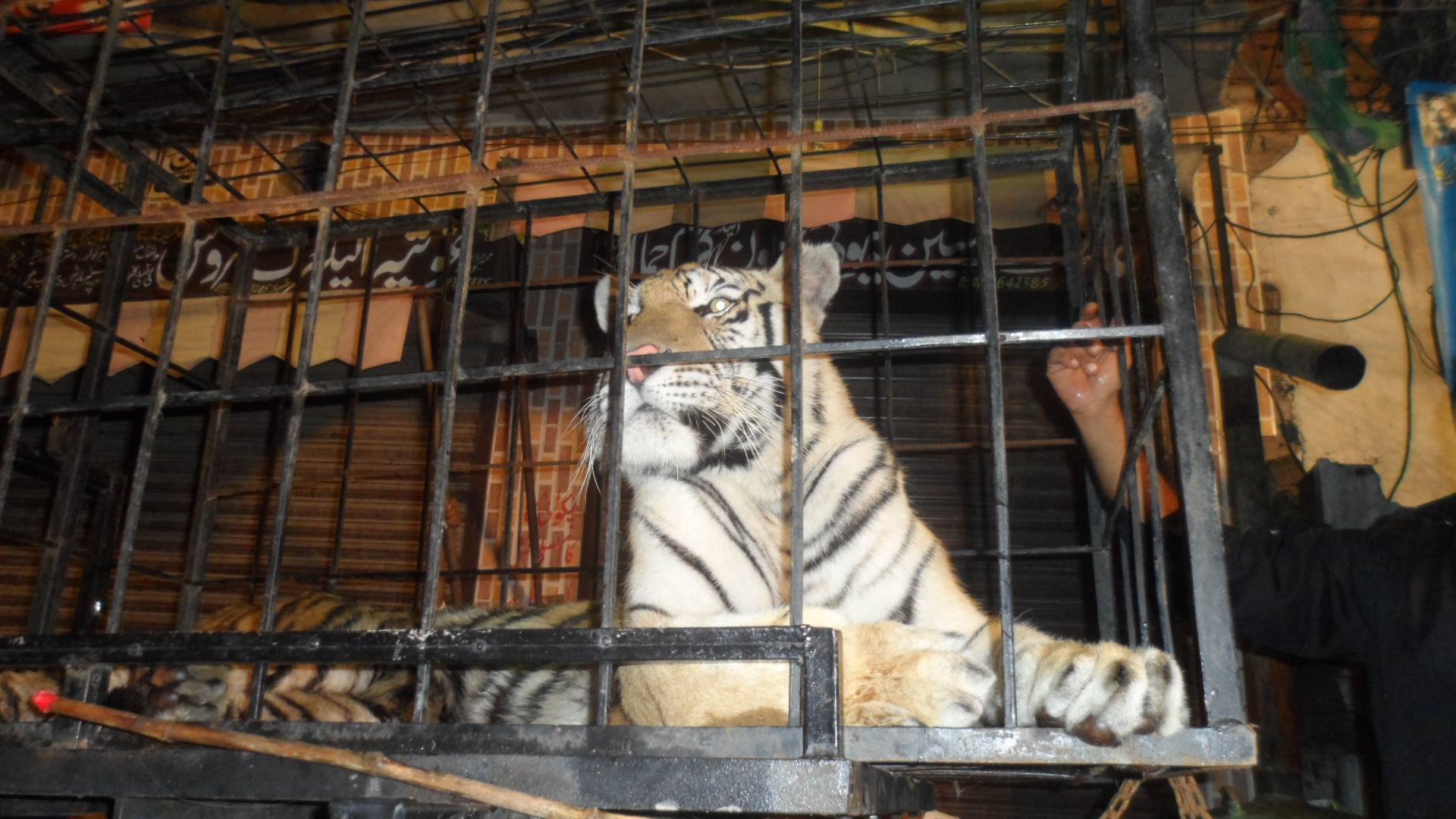 Caged Tiger Paraded at PML-N Rally